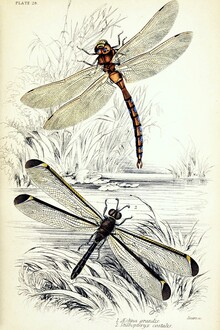Vintage Nature Graphics, Two Dragonflies By The Pond (Germany, Europe)