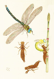 Vintage Nature Graphics, Dragonfly and other insects (Germany, Europe)