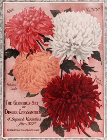 Vintage Nature Graphics, The Glorious Set Of Dingee Chrysanthemums (Germany, Europe)