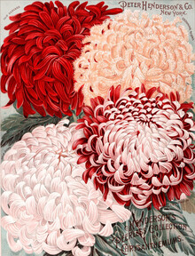 Vintage Nature Graphics, Peter Henderson & Co - Chrysanthemums (Germany, Europe)