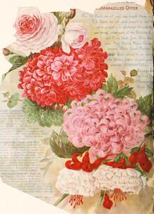 Vintage Nature Graphics, Vintage Illustration Chrysanthemums 3 (Germany, Europe)