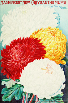 Vintage Nature Graphics, Magnificent New Chrysanthemums (Germany, Europe)