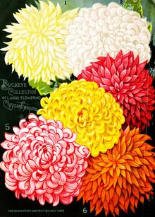 Vintage Nature Graphics, Vintage Illustration Chrysanthemen 1 (Germany, Europe)
