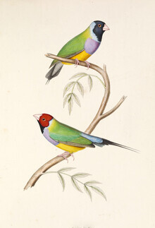 Vintage Nature Graphics, Gouldian Finch (Deutschland, Europa)