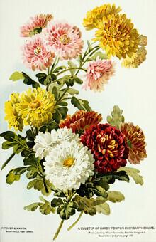 Vintage Nature Graphics, Vintage illustration of chrysanthemums (Germany, Europe)