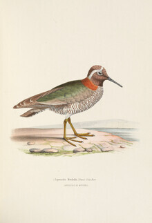 Vintage Nature Graphics, Diademed plover (Germany, Europe)