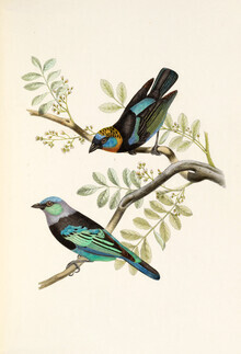 Vintage Nature Graphics, Golden Hooded Tanager (Germany, Europe)