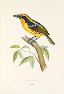 Vintage Nature Graphics, Gilded Barbet (Germany, Europe)