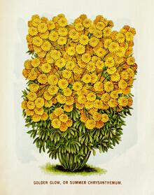 Vintage Nature Graphics, Golden Glow Or Summer Chrysanthemum (Germany, Europe)