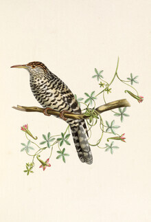 Vintage Nature Graphics, Grey Barred Wren (Germany, Europe)