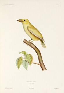 Vintage Nature Graphics, Coppersmith Barbet (Germany, Europe)
