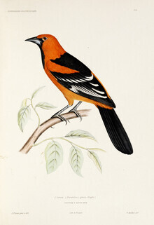 Vintage Nature Graphics, Altamira Oriole (Germany, Europe)