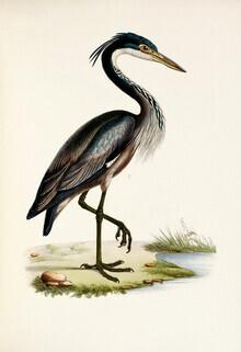 Vintage Nature Graphics, Black-headed heron (Germany, Europe)