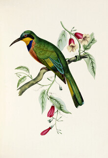 Vintage Nature Graphics, Bblue-breasted bee-eater (Germany, Europe)