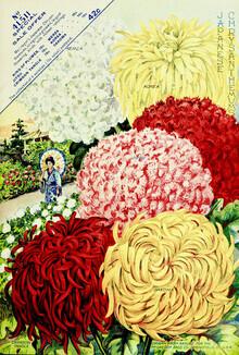 Vintage Nature Graphics, Vintage Chrysanthemums (Germany, Europe)