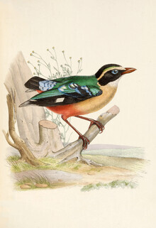 Vintage Nature Graphics, African Pitta (Germany, Europe)