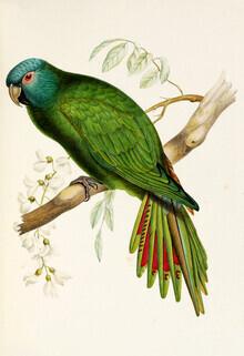 Vintage Nature Graphics, Blue-crowned Parakeet (Germany, Europe)