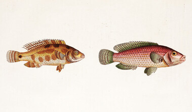 Vintage Nature Graphics, Fish 1 (Germany, Europe)