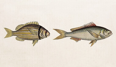 Vintage Nature Graphics, Fish 2 (Germany, Europe)