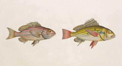 Vintage Nature Graphics, Fish 3 (Germany, Europe)