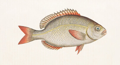 Vintage Nature Graphics, Fish 5 (Germany, Europe)