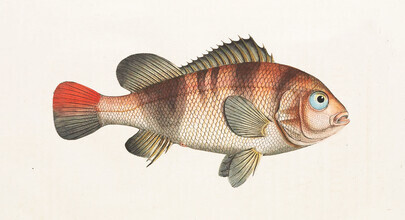 Vintage Nature Graphics, Fish 6 (Germany, Europe)