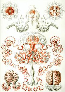 Vintage Nature Graphics, Anthomedusae (Germany, Europe)