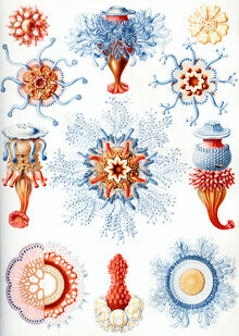 Vintage Nature Graphics, Siphonophorae (Germany, Europe)