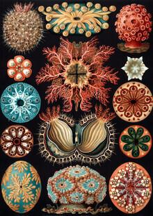 Vintage Nature Graphics, Ascidiae (Germany, Europe)