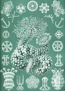 Vintage Nature Graphics, Thuroidea (Germany, Europe)