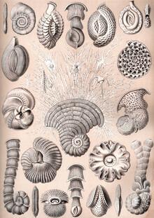 Vintage Nature Graphics, Thalamophora (Germany, Europe)