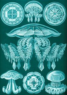 Vintage Nature Graphics, Discomedusae (Germany, Europe)