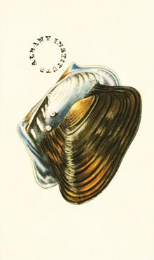 Vintage Nature Graphics, Vintage Illustration Shells 7 (Germany, Europe)