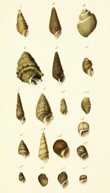 Vintage Nature Graphics, Vintage Illustration Shells 8 (Germany, Europe)
