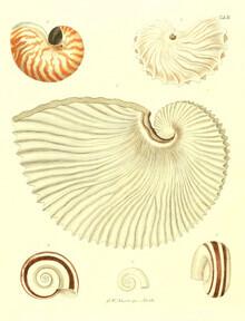 Vintage Nature Graphics, Vintage Illustration Shells 1 (Germany, Europe)