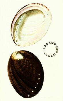 Vintage Nature Graphics, Vintage Illustration Shells 2 (Germany, Europe)