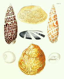 Vintage Nature Graphics, Vintage Illustration Shells 3 (Germany, Europe)