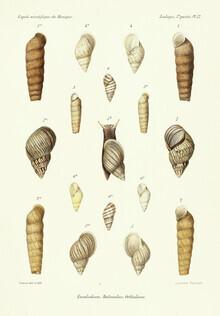 Vintage Nature Graphics, Vintage Illustration Shells 14 (Germany, Europe)
