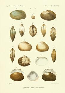 Vintage Nature Graphics, Vintage Illustration Shells 13 (Germany, Europe)