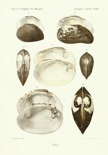 Vintage Nature Graphics, Vintage Illustration Shells 12 (Germany, Europe)
