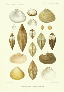 Vintage Nature Graphics, Vintage Illustration Shells 11 (Germany, Europe)