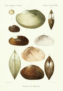 Vintage Nature Graphics, Vintage Illustration Shells 4 (Germany, Europe)