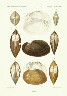 Vintage Nature Graphics, Vintage Illustration Shells 5 (Germany, Europe)