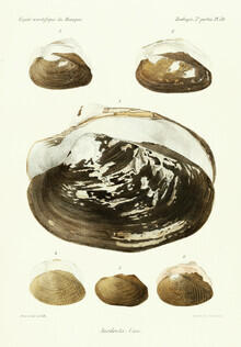 Vintage Nature Graphics, Vintage Illustration Shells 9 (Germany, Europe)