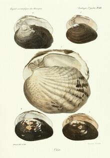Vintage Nature Graphics, Vintage Illustration Shells 10 (Germany, Europe)