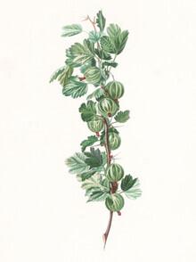 Vintage Nature Graphics, Vintage illustration gooseberries 1 (Germany, Europe)
