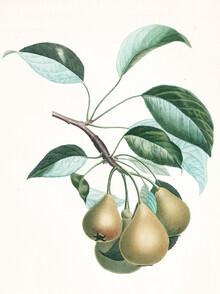 Vintage Nature Graphics, Vintage illustration pears 1 (Germany, Europe)