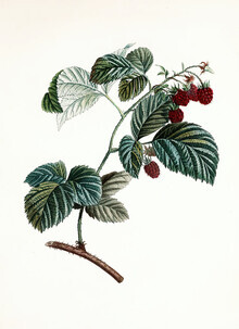 Vintage Nature Graphics, Vintage illustration raspberries 1 (Germany, Europe)