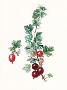 Vintage Nature Graphics, Vintage illustration gooseberries 2 (Germany, Europe)