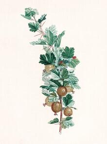 Vintage Nature Graphics, Vintage illustration gooseberries 3 (Germany, Europe)